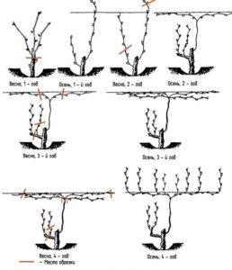 При правильном формировании куста повышается урожайность винограда