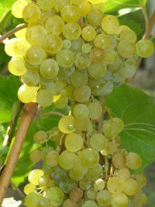 Виноград Русбол созревает в течение 115–125 дней
