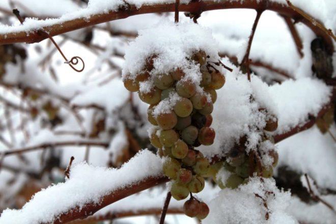 Подавляющее большинство южных сортов винограда не способно пережить холодные зимы