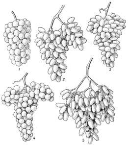 Характеристики сорта проявлены не во всех, а лишь в некоторых частях растения