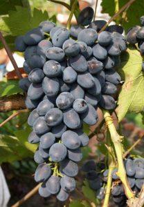 Виноград Памяти Дженеева весьма неприхотлив и дает большой урожай