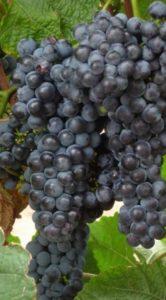 Сорт винограда Один считается поздно созревающим