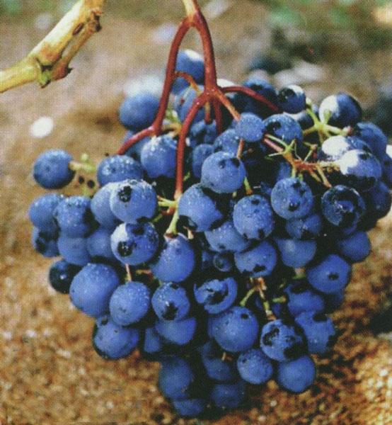 Виноград сорт подарок шарова