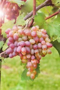 Виноград «Самохвалович» выведен челябинскими селекционерами