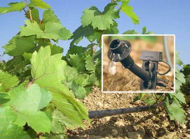 Капельные поливы для винограда — лучший способ зарядиться влагой на весь сезон