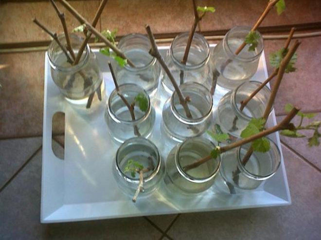 Размножать виноград Один нужно в осеннее или весеннее время
