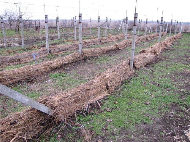 Виноградари южного региона обычно используют частичное укрывание винограда