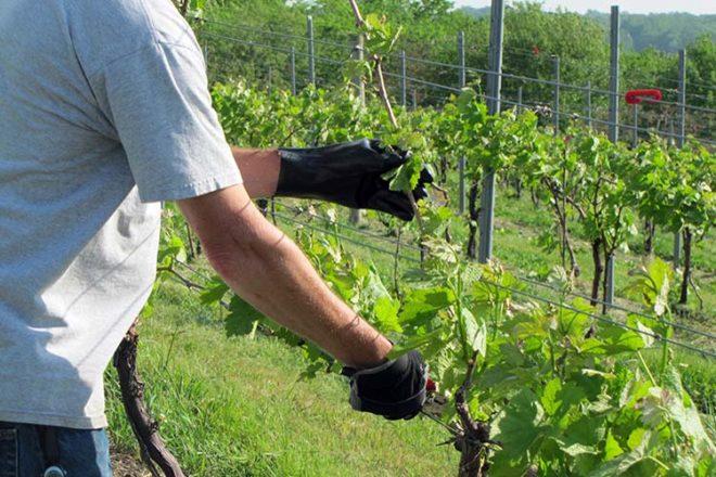 Весной любой виноград обрезают, чтобы избавиться от перемерзших отростков