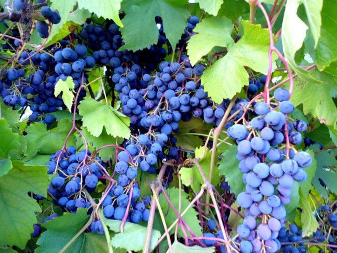 Виноград Илья Муромец – это столовый, красный сорт с замечательными характеристиками