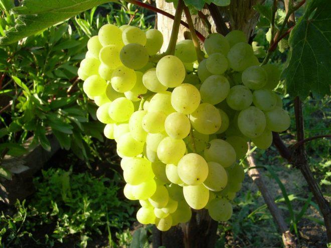 Виноград Русбол Улучшенный – очень популярный сорт