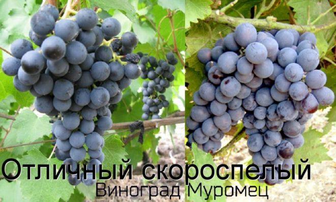 Масса грозди Муромца составляет в среднем 300-500 грамм