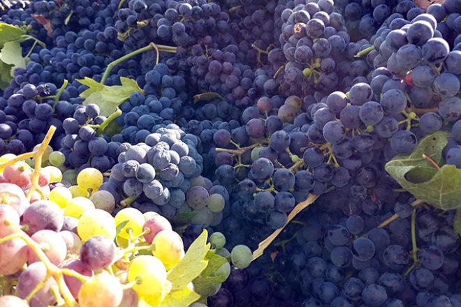 В Узбекистане все виноградные лозы чувствуют себя комфортно