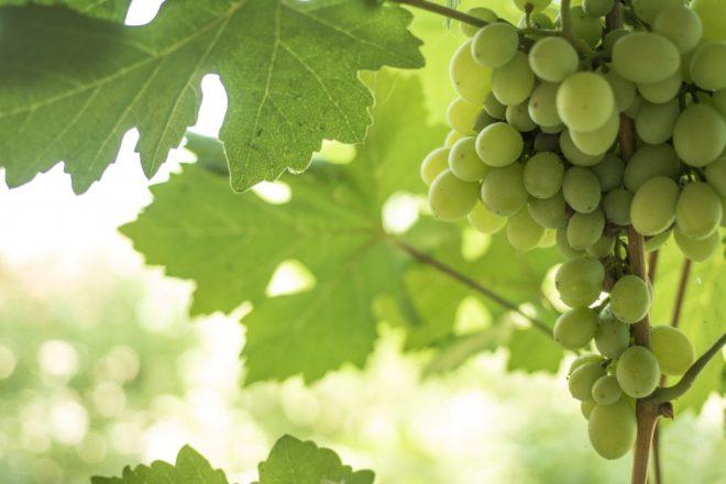 Виноград Мускат Посада – это результат скрещивания четырёх лоз
