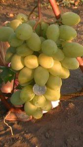 Мускат Посада – это сорт винограда с высокой урожайностью